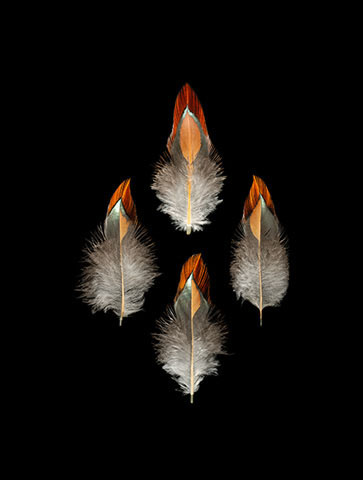 Rooster feathers.