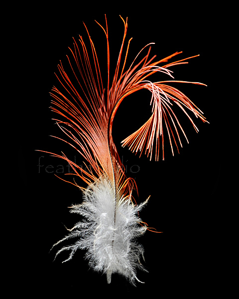 Gang-gang Cockatoo (Callocephalon fimbriatum) lives in Australia. This floppy male crest feather is 2-1/2 inches long.