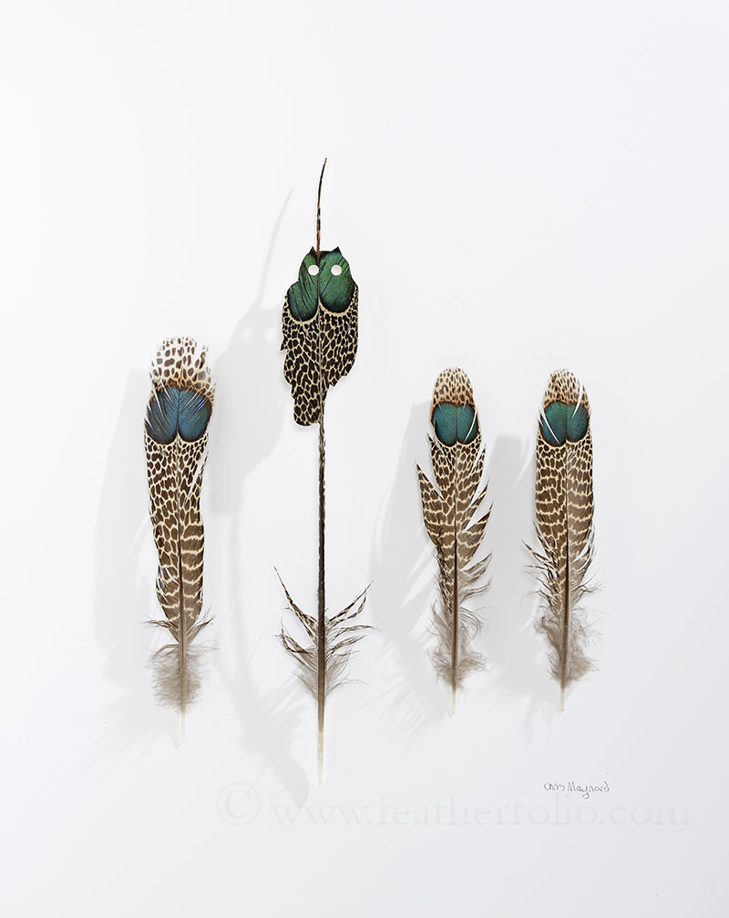 "Eyes, 14"" x 11"", 2016, Chris Maynard,  malay peacock pheasant tail feathers"