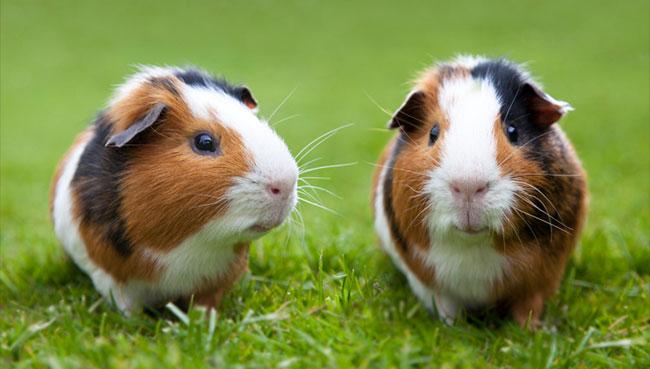 guinea-pig-behavior.jpg