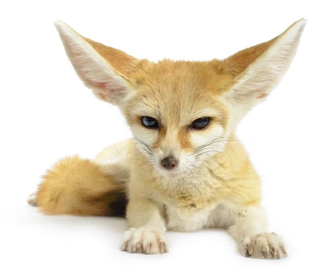 Fennec Fox REsize Small.jpg