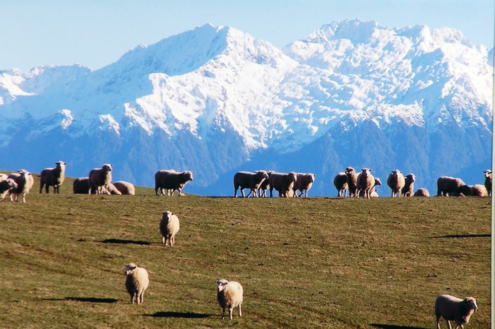 Sheep with Mountains (A Roska).JPG