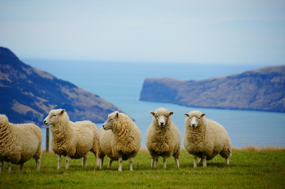 new-zealand-sheep.jpg