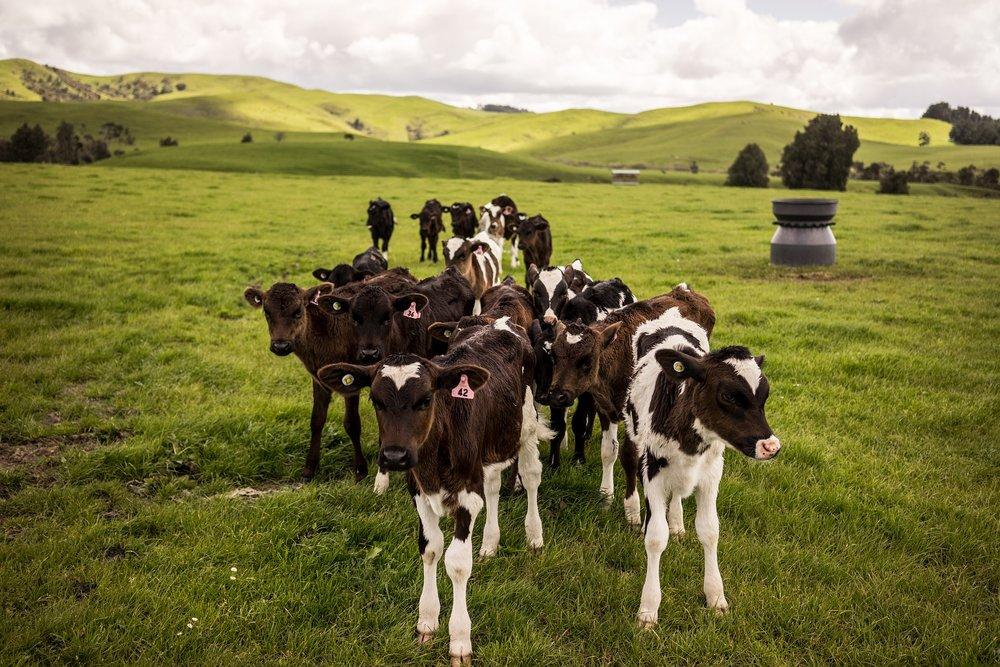 nz_cows.jpg