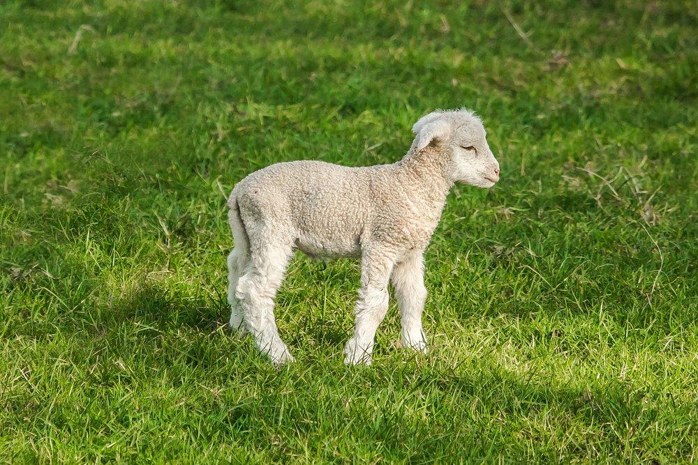 sheep-1398199_1920.jpg