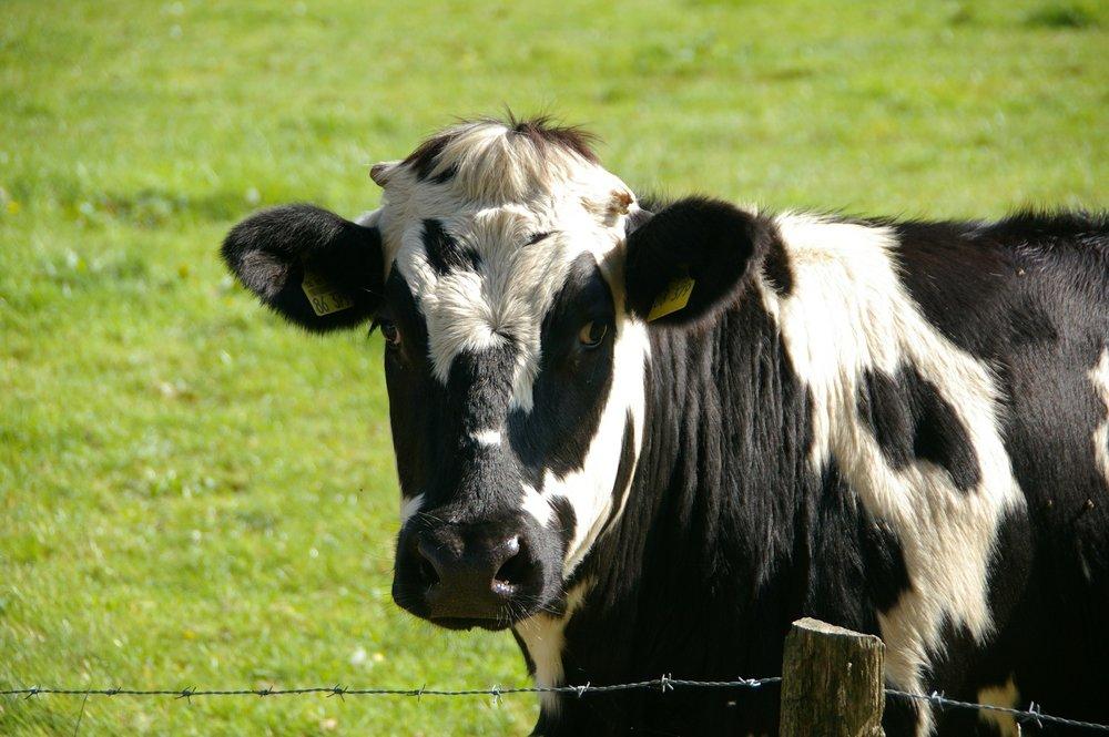 cow-234835_1920.jpg
