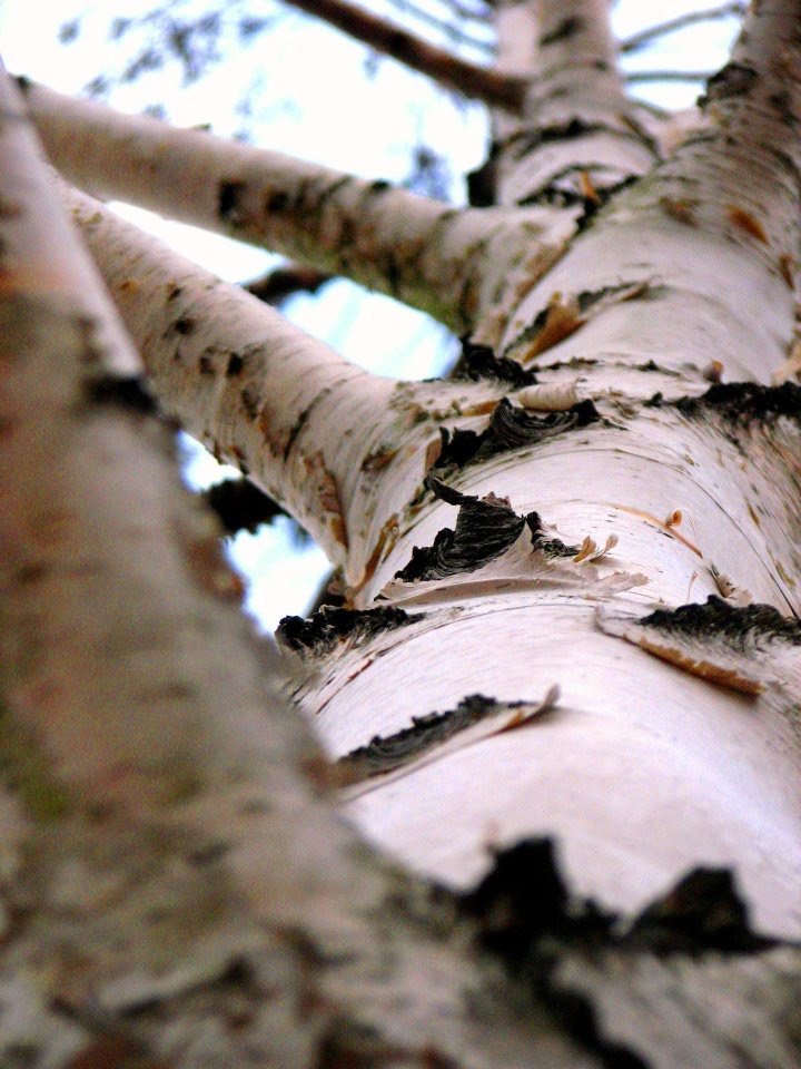 Bird's Eye Birch