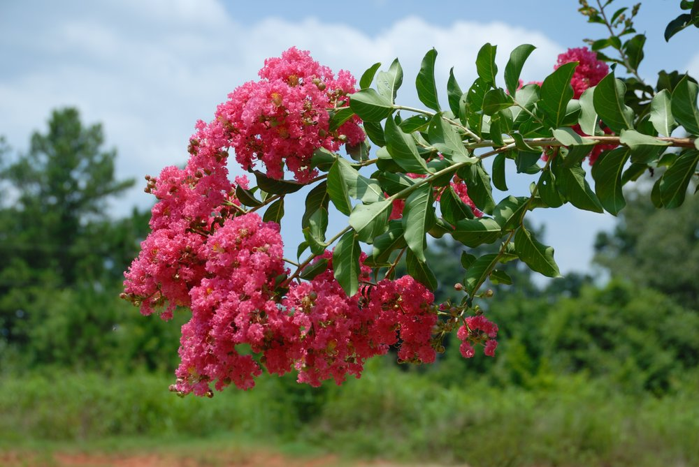 Crepe Myrtle from