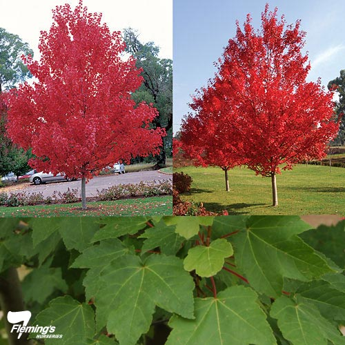 Acer rubrum- October Glory
