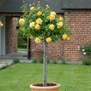 Standard Roses-