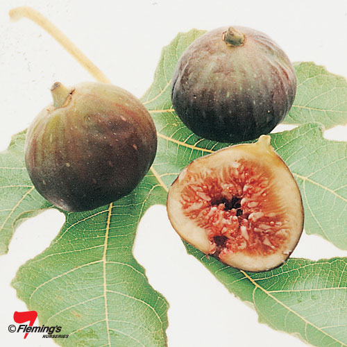 "FIG "" BLACK GENOA"""