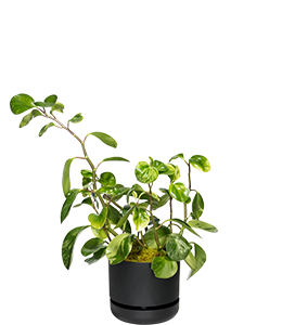 RADIATOR PLANT (Peperomia)  A tough indoor plant. Can be grown outdoors in tropical climates.