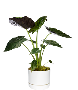 ELEPHANT EAR  A great foliage plant for indoors or shady outdoor areas.