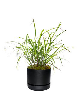 LEMON GRASS  Prized for its thick, lemon flavoured stems.