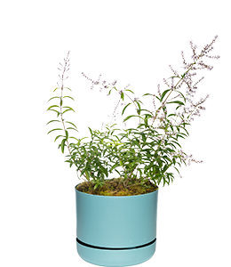 LEMON VERBENA  This shrub's leaves release a lemony scent every time they're touched.