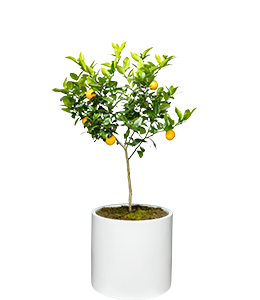 LEMON  Produces sweet, small fruit all year round.
