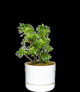 AEONIUM  A sculptural and tough succulent.