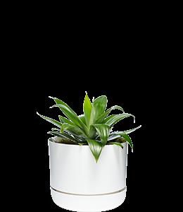 CENTURY PLANT  A succulent plant which tolerates tough love!