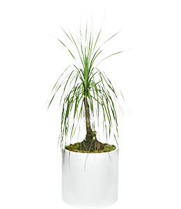 PONYTAIL PALM  A slow grower with a trunk that develops a very swollen base over time.