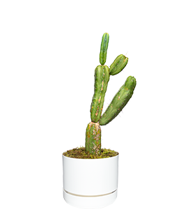 HEDGE CACTUS  The ultimate plant for the hottest and driest spots. Beware of spikes!