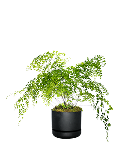 MAIDENHAIR FERN  Likes a constantly moist, sheltered and shady position.