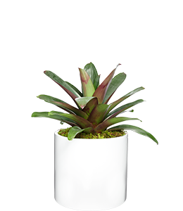 BROMELIAD  The perfect feature plant for a tropical or formal garden design.