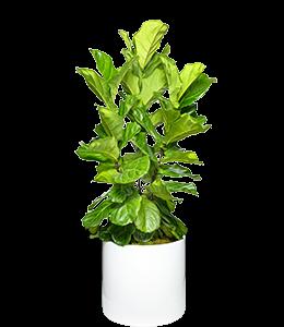 FIDDLE LEAF FIG  A popular, yet somewhat tempramental indoor plant.