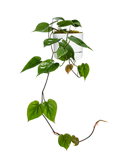 HEART LEAF PHILODENDRON  A fast growing hanging plant that requires little maintenance.