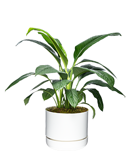 PEACE LILY  A very hardy plant, great for indoor spaces.