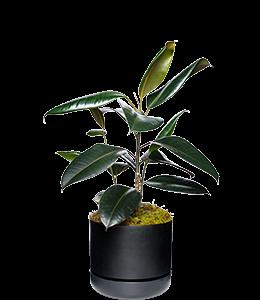 RUBBER PLANT  Best kept as an indoor specimen only!