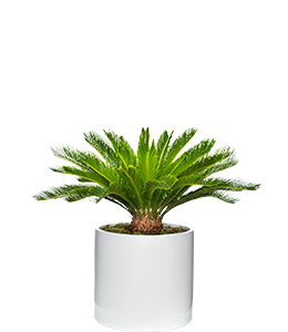 SAGO PALM  A statement plant for a formal or tropical garden design.
