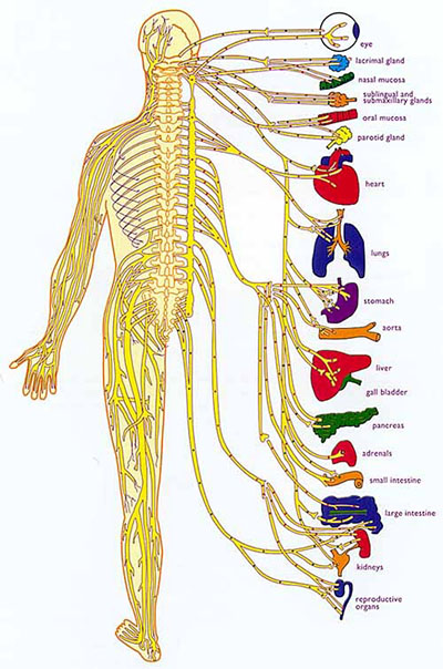 Nerves carry signals to their related organs via dermatomes on the skin.