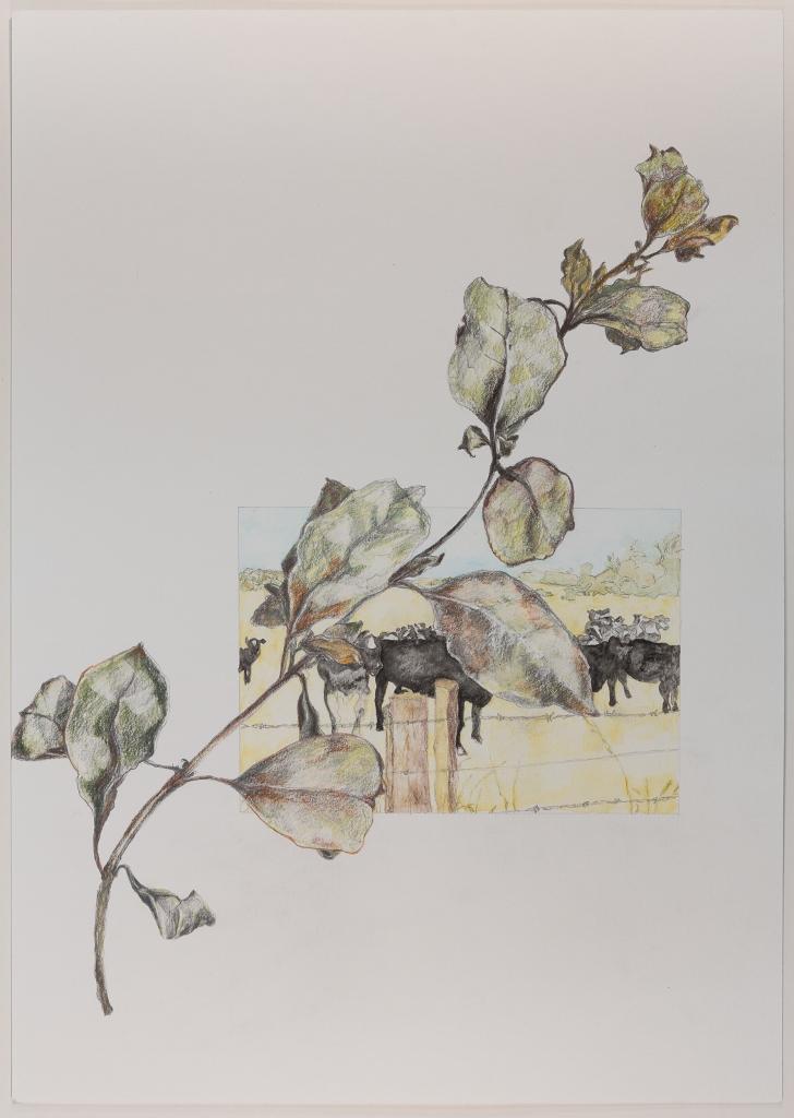 Fading Kapuka & Cows