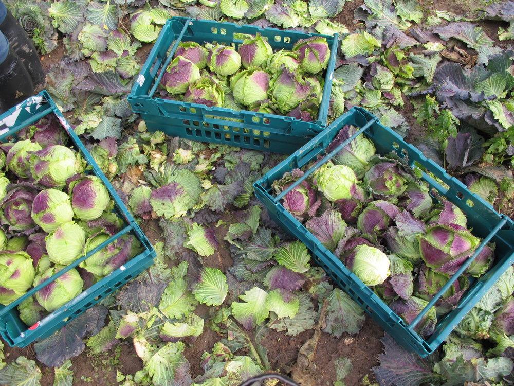 Brassica gleaning6.JPG