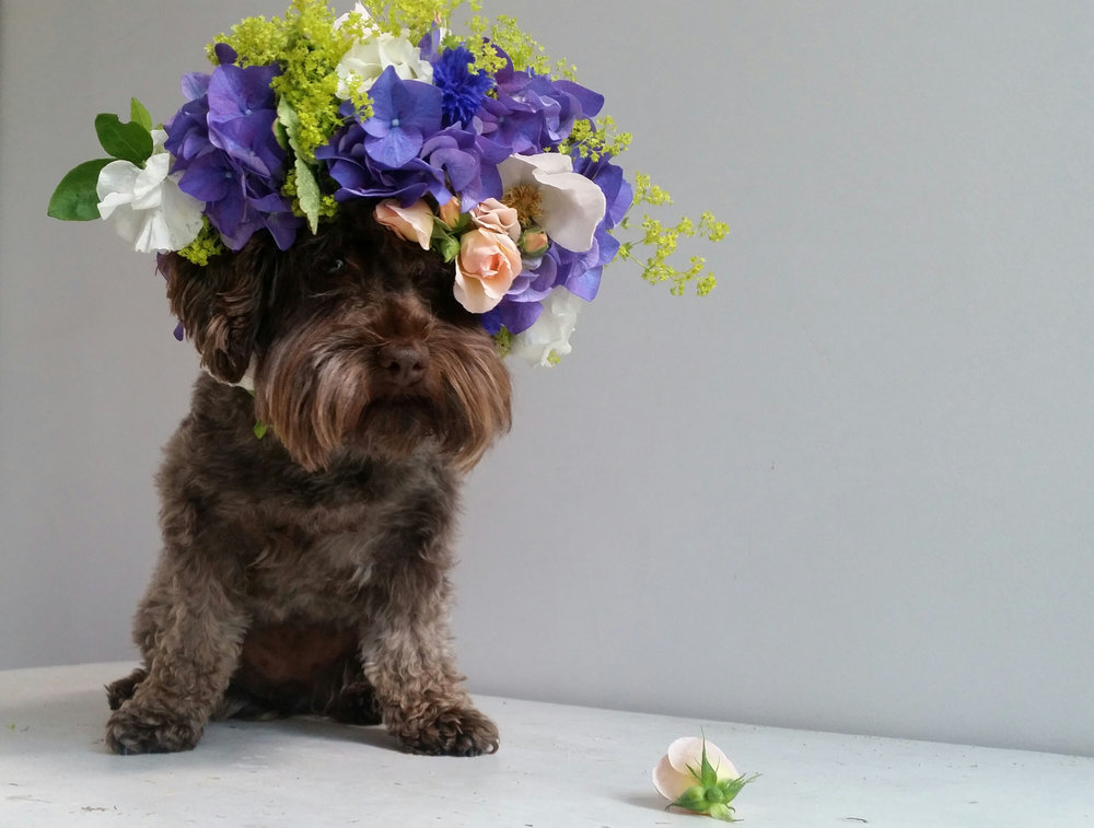 Hilda's homage to Sophie Gamand's Pit Bull Flower Crown campaign.  Flowers by : Honeysuckle and Hilda  Photo by: Claire Bowen
