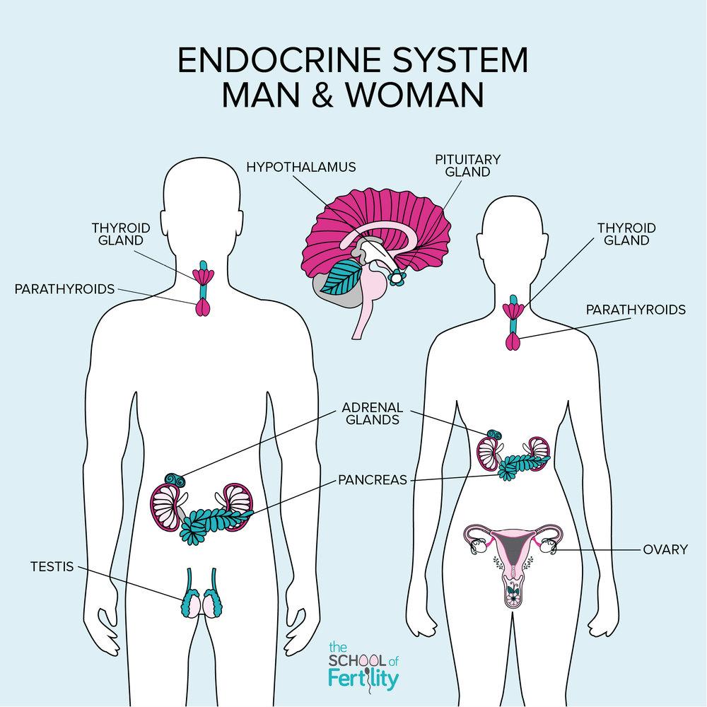 Glands that produce and secrete hormones