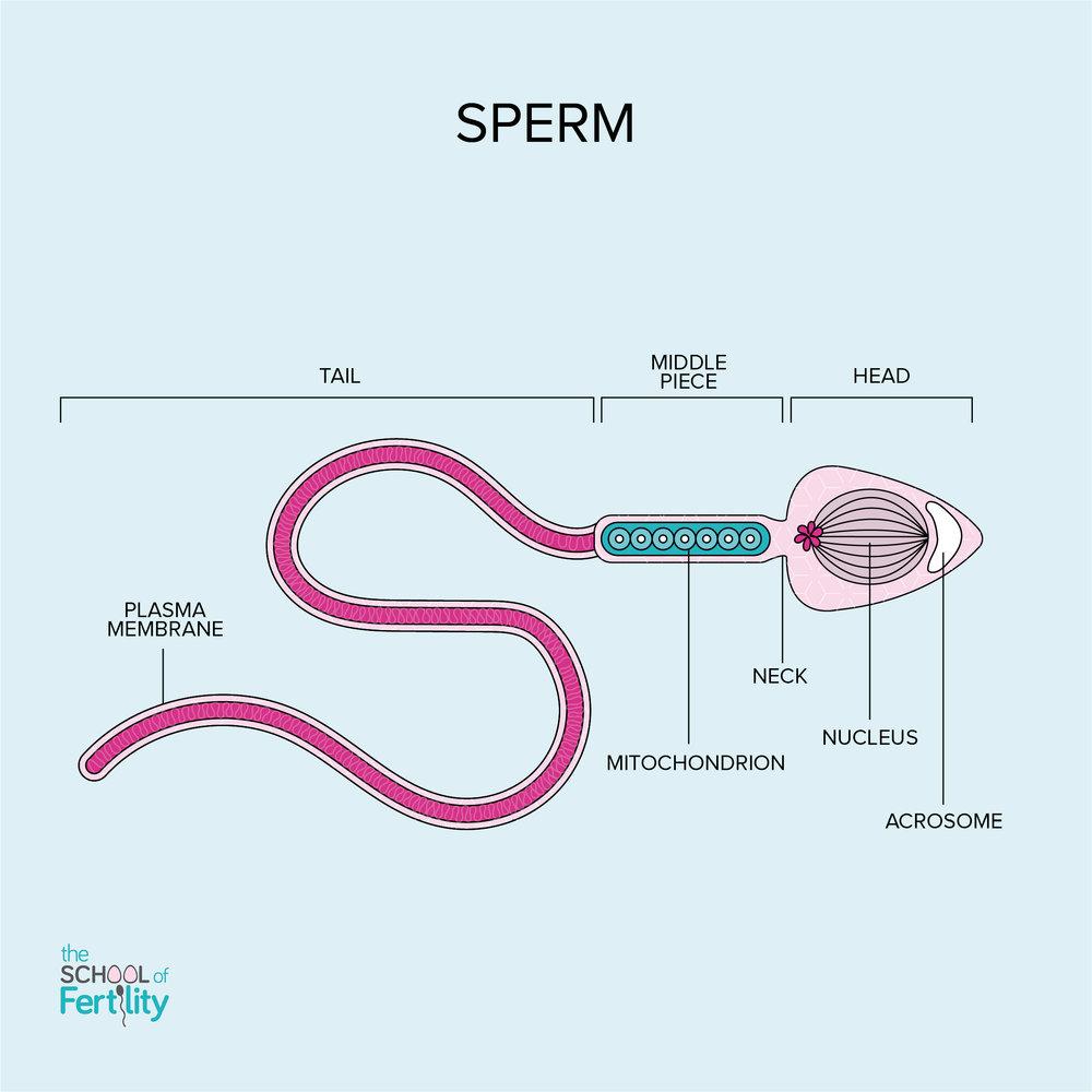 Sperm+(c)+The+School+of+Fertility.jpg