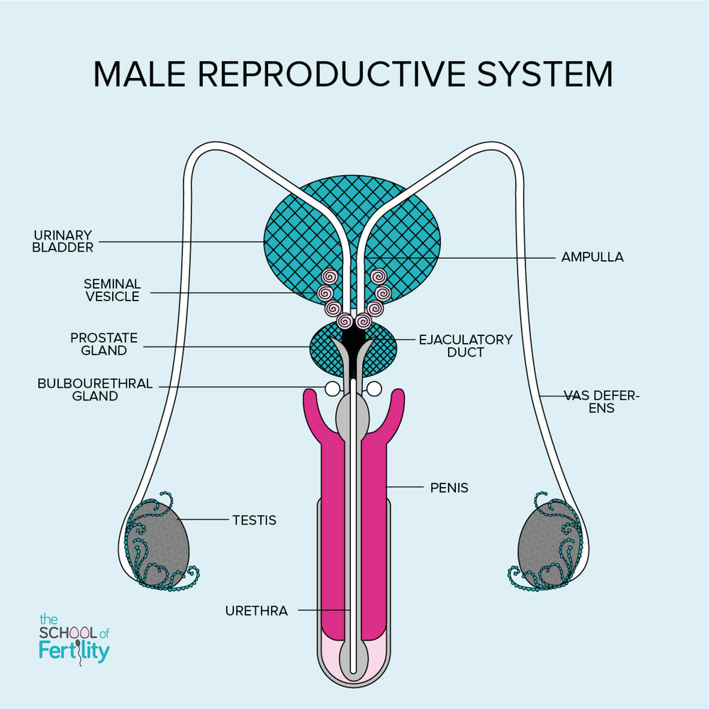 Male+Reproductive+System+(c)+The+School+of+Fertility.jpg