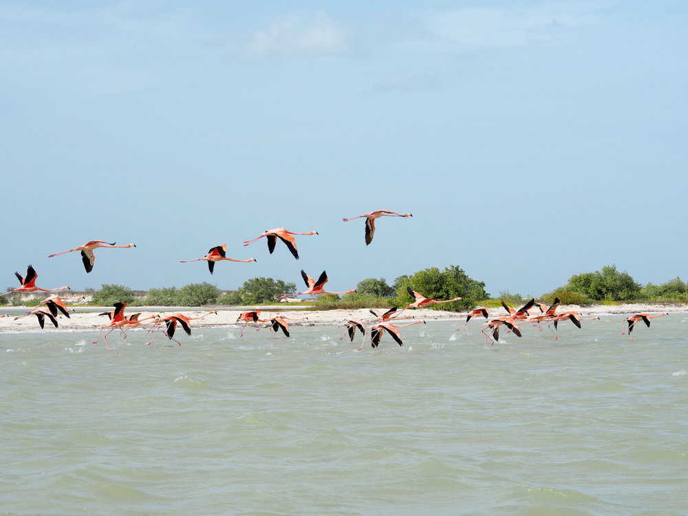 Flamingos in Los Lagartos