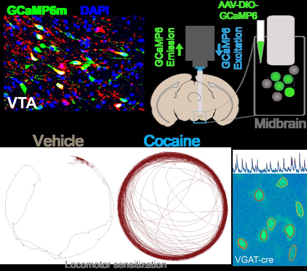 Calcium Imaging Diagram.png