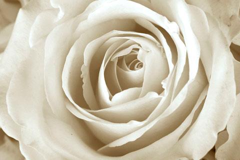 Rose4Detail.jpg