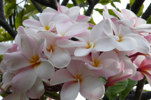 Plumeria2blog