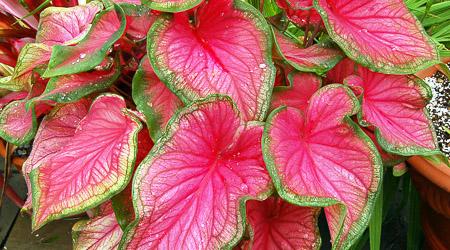 TINHORÃO - Amplamente cultivada por sua beleza ornamental, o Tinhorão também possui oxalato de cálcio em suas folhas.[fonte da imagem]