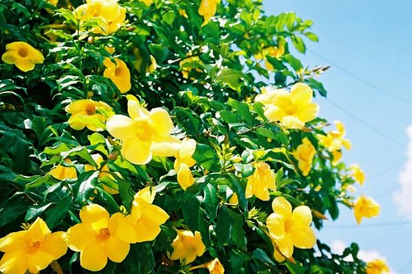 ALAMANDA - É inegável a beleza das flores amarelas da Alamanda!No entanto, sua ingestão têm alto efeito purgante e, se ingeridas em excesso, podem levar a fortes desarranjos intestinais, resultando em óbito.[fonte da imagem]