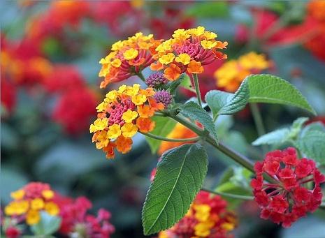 LANTANA - As Lantanas também são flores super comuns, bastante presentes em nosso cotidiano.Mas o seu manuseio sem luvas pode ocasionar irritações na pele e também causa intoxicação se ingerida.[fonte da imagem]