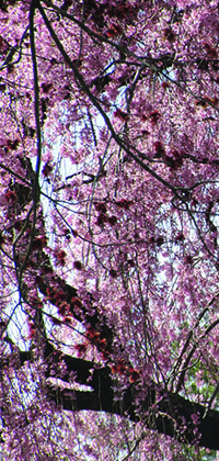 Weeping Cherries.jpg