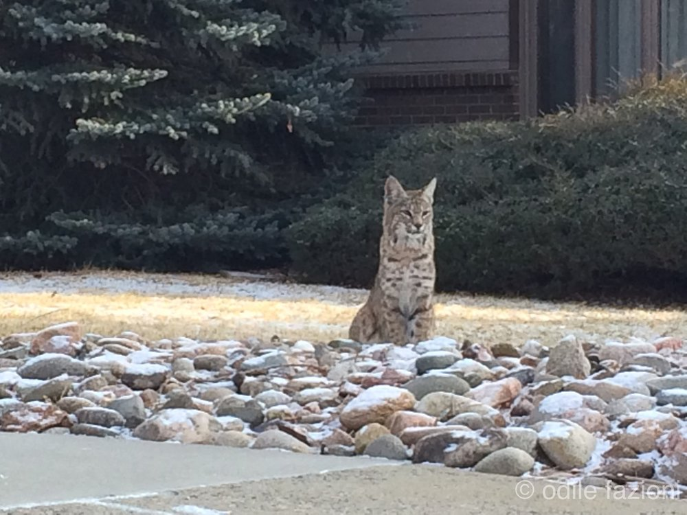 A beautiful bobcat on Fairways Drive in Boulder, Colorado