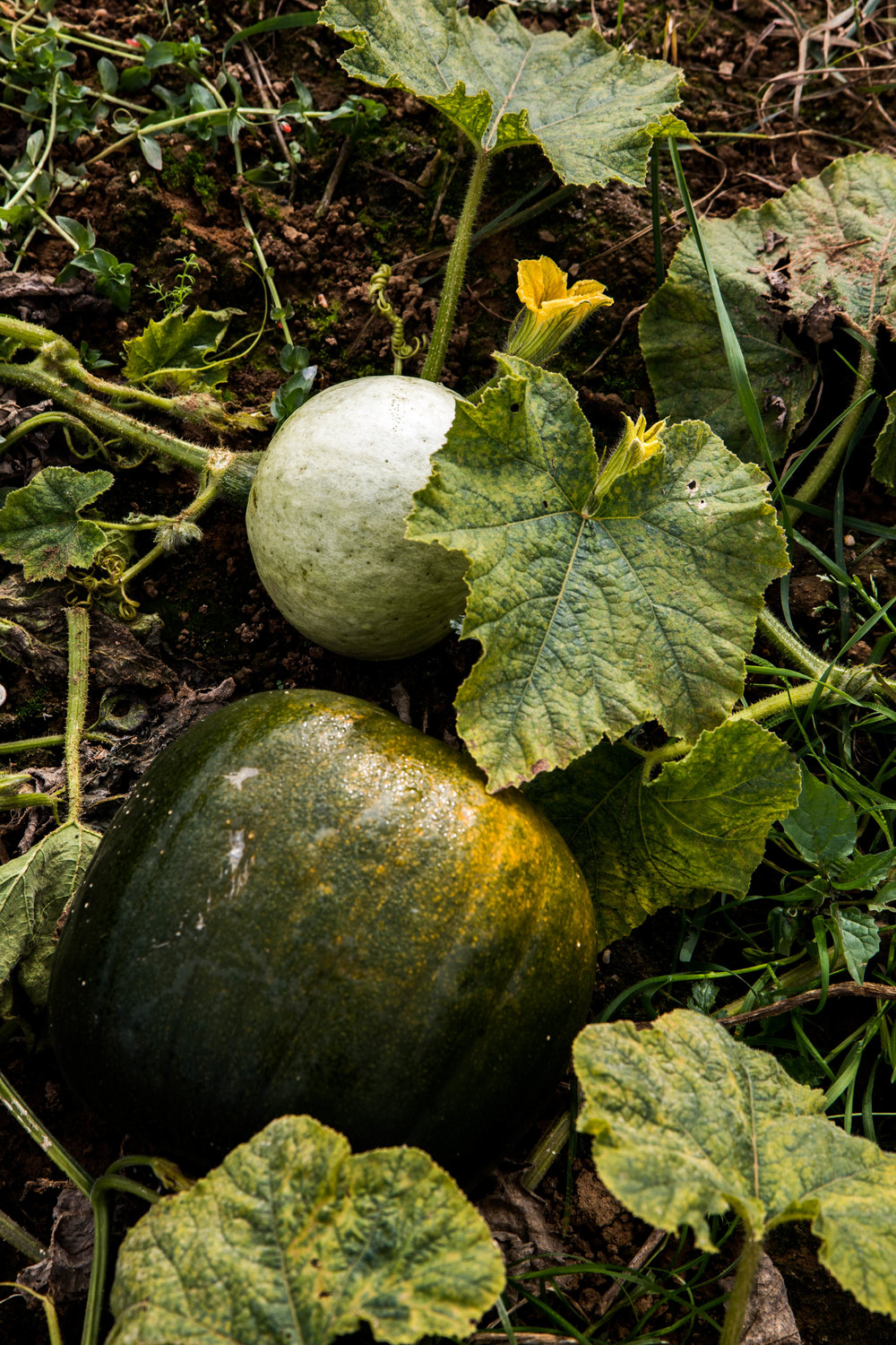 Pumpking Patch - Shannon Hammond Photography-1-2.jpg