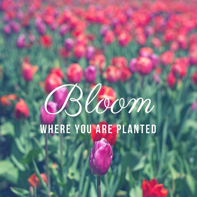 Spent a morning last week @thankspoint for the #tulipfestival2017 took a few shots and then messed around with a typography design.  #ladydp #flowerphotography #photographer #femalephotographer
