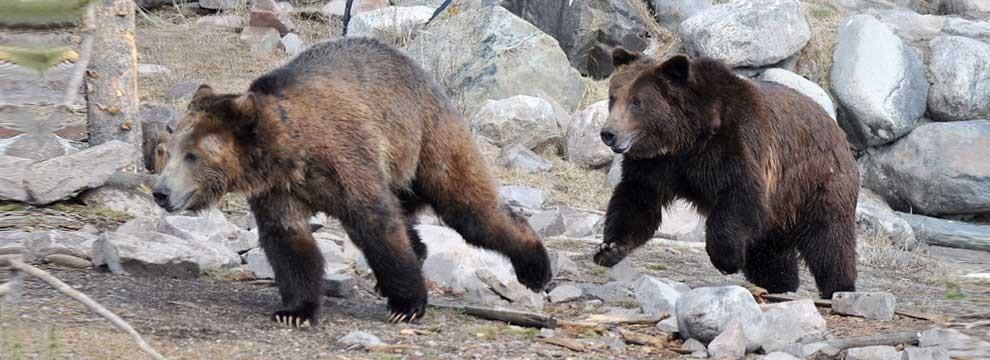 yellowstone-bears-990x360.jpg